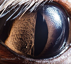 eye-closeup-animal