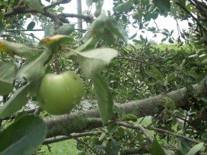 Colorado apple tree